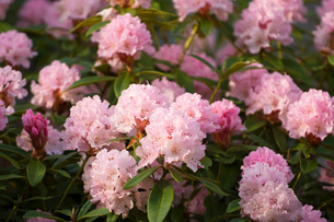 Close up of pink flowersの写真素材 [FYI01997568]