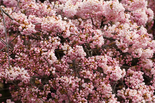 Close up of pink flowersの写真素材 [FYI01997629]
