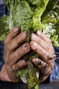 Dirty hands holding lettuce leavesの写真素材 [FYI01998369]