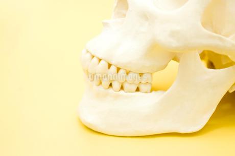 頭蓋骨の模型の写真素材 [FYI02000389]