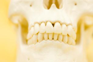 頭蓋骨の模型の写真素材 [FYI02000619]