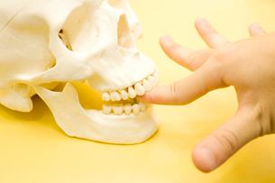 頭蓋骨の模型に挟まれた男性の指の写真素材 [FYI02002153]