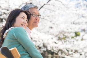 ベンチに座り桜を眺めるシニアカップルの写真素材 [FYI02002692]