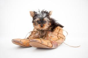 革靴に入ったヨークシャーテリアの写真素材 [FYI02003319]