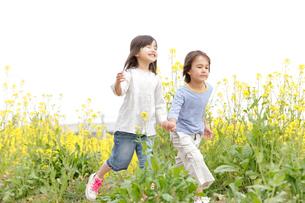 菜の花畑で手を繋ぎ歩く男の子と女の子の写真素材 [FYI02003624]