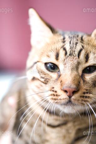 リビングルームにいる猫の写真素材 [FYI02009920]