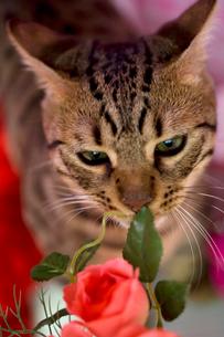 造花の匂いを嗅ぐ猫の写真素材 [FYI02010745]