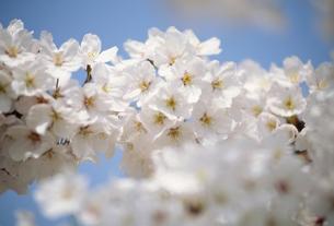 桜アップの写真素材 [FYI02011936]