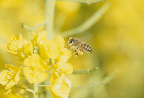 菜の花とミツバチの写真素材 [FYI02011953]