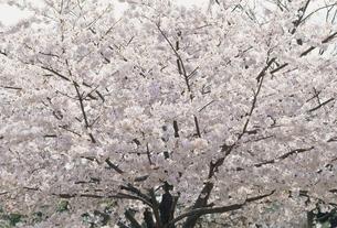 桜の写真素材 [FYI02011965]