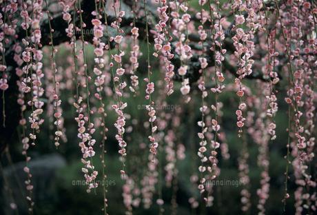 しだれ梅の写真素材 [FYI02012009]