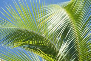 ヤシの葉の写真素材 [FYI02012022]