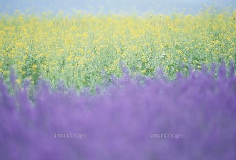 菜の花とラベンダー畑の写真素材 [FYI02012082]