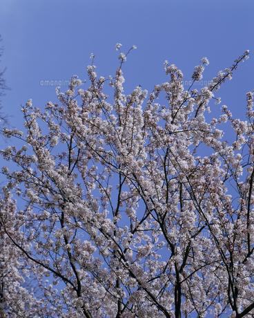 桜の写真素材 [FYI02012100]