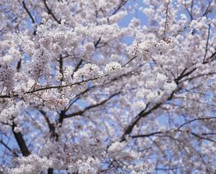 桜の写真素材 [FYI02012110]
