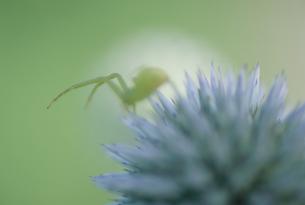 ヒゴタイとハナグモの写真素材 [FYI02012144]