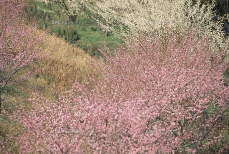 紅白梅の写真素材 [FYI02012153]