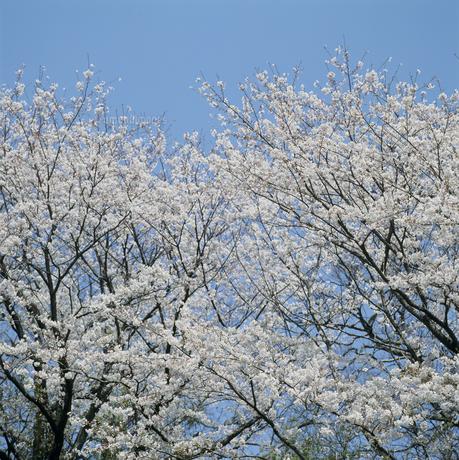 桜の写真素材 [FYI02012211]