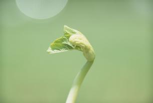 新芽の写真素材 [FYI02012306]