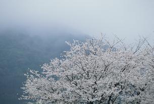 桜と霞の写真素材 [FYI02012307]