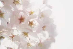 桜アップの写真素材 [FYI02012364]