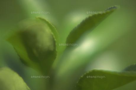 マサキの葉の写真素材 [FYI02012532]