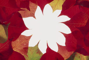 紅葉したナンキンハゼの円形フレームの写真素材 [FYI02012779]