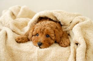 タオルに包まれるトイプードルの子犬の写真素材 [FYI02012926]