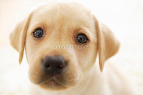 ラブラドールレトリバーの子犬の写真素材 [FYI02013055]