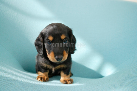 ミニチュアダックスフンドの子犬の写真素材 [FYI02013258]
