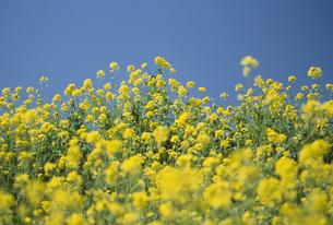 菜の花畑と青空の写真素材 [FYI02013393]