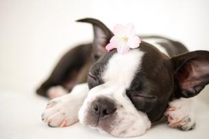 桜の花を頭に乗せて眠るボストンテリアの写真素材 [FYI02013502]