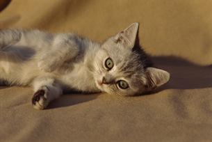 横になる猫の写真素材 [FYI02013821]