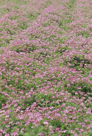 レンゲ畑の写真素材 [FYI02013966]