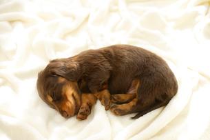 眠るミニチュアダックスフンドの子犬の写真素材 [FYI02014106]