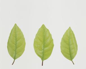 3枚の並んだ葉  カシの木の一種の写真素材 [FYI02014274]