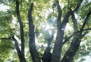 木の幹と木漏れ日の写真素材 [FYI02014535]