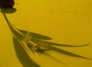 ヤシの葉の影と2つの骨貝の写真素材 [FYI02014655]