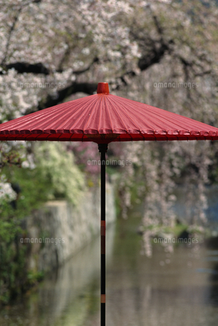 桜と赤い和傘の写真素材 [FYI02014717]