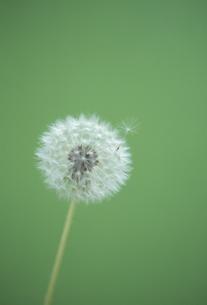 タンポポの綿毛の写真素材 [FYI02014752]