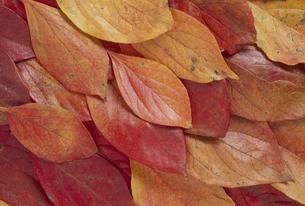 敷き詰めた葉  紅葉したカキの葉の写真素材 [FYI02014805]