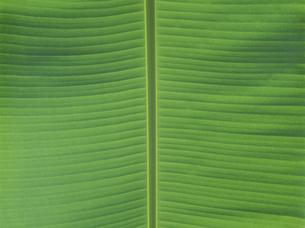 バナナの葉の写真素材 [FYI02014839]
