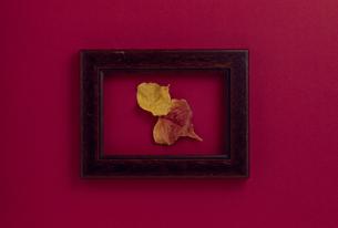 額縁の中の紅葉したナンキンハゼの写真素材 [FYI02015028]