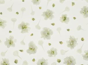散りばめた白いスイートピーの写真素材 [FYI02015041]