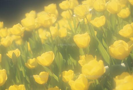 チューリップ畑のボケの写真素材 [FYI02015051]