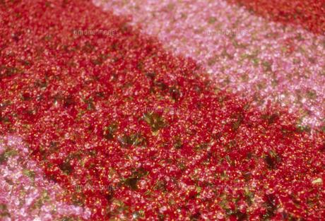 ベゴニア畑の写真素材 [FYI02015180]