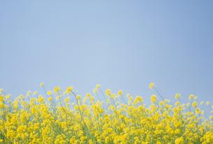 菜の花畑と青空の写真素材 [FYI02015227]