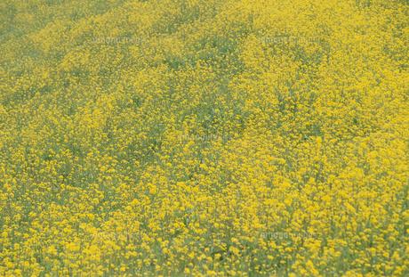菜の花畑と青空の写真素材 [FYI02015277]