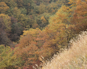 ススキの向こうの紅葉の写真素材 [FYI02015279]