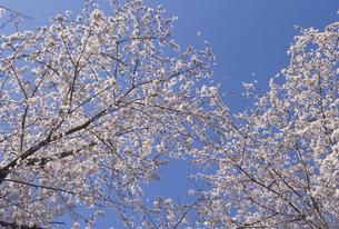 サクラと青空の写真素材 [FYI02015304]